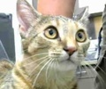 A picture of #ET01991: Saskia a Domestic Short Hair Torbie