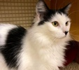 A picture of #ET01992: Earline a Turkish Van Mix white/black