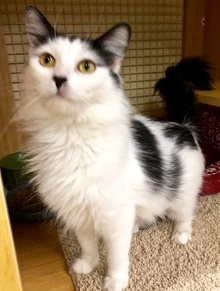 [another picture of Earline, a Turkish Van Mix white/black\ cat]