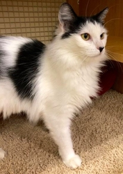 [picture of Earline, a Turkish Van Mix white/black cat]