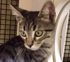 [picture of Zozo, a Domestic Short Hair gray tabby\ cat]