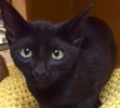 A picture of #ET01998: Xochi a Domestic Short Hair black