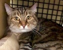 A picture of #ET01999: Brandy a Domestic Short Hair brown tabby