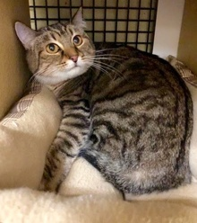 [another picture of Brandy, a Domestic Short Hair brown tabby\ cat]