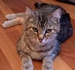 [picture of Brandy, a Domestic Short Hair brown tabby cat]