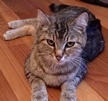 [picture of Brandy, a Domestic Short Hair brown tabby\ cat]