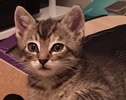 A picture of #ET02001: Pippy a Domestic Short Hair brown tabby