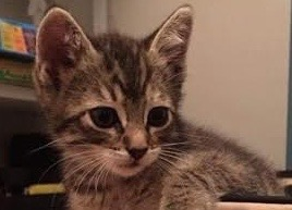 [picture of Beatty, a Domestic Short Hair brown tabby\ cat]