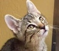A picture of #ET02003: Braveheart a Domestic Short Hair brown tabby