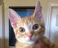 A picture of #ET02006: Roy Roy a Domestic Short Hair orange tabby