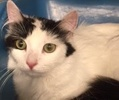 A picture of #ET02007: Lillia a Turkish Van Mix white/black