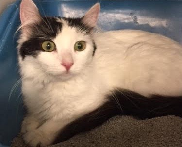 [another picture of Lillia, a Turkish Van Mix white/black\ cat]