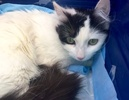 [picture of Lillia, a Turkish Van Mix white/black cat]