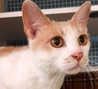 A picture of #ET02008: Ueli a Domestic Short Hair white/buff