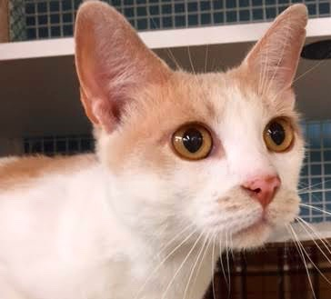 [picture of Ueli, a Domestic Short Hair white/buff\ cat]