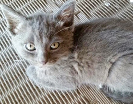 [picture of Pedro, a Russian Blue Mix blue\ cat]