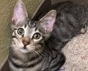 A picture of #ET02010: Randaldo a Domestic Short Hair gray tabby