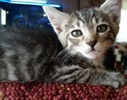 A picture of #ET02011: Tippy a Domestic Short Hair gray tabby with white tip tail