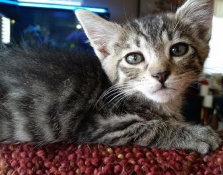 [picture of Tippy, a Domestic Short Hair gray tabby with white tip tail\ cat]
