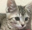 A picture of #ET02012: Big E a Domestic Short Hair silver tabby