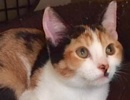 A picture of #ET02013: Veronica a Domestic Short Hair calico