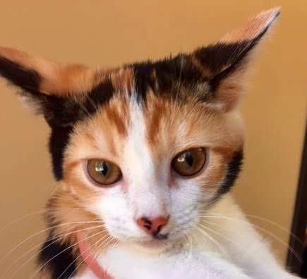 [picture of Veronica, a Domestic Short Hair calico\ cat]