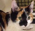A picture of #ET02014: Betty a Domestic Short Hair calico