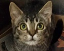 A picture of #ET02015: Rose a Domestic Short Hair gray tabby