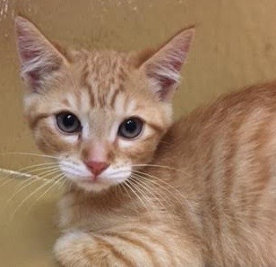 [picture of Cozzie, a Domestic Short Hair orange\ cat]