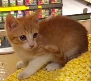 [picture of Cobbler, a Domestic Short Hair orange/white\ cat]