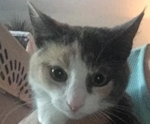 A picture of #ET02019: Lua a Domestic Short Hair calico