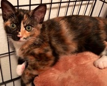 [another picture of Mikenna, a Domestic Short Hair calico\ cat]