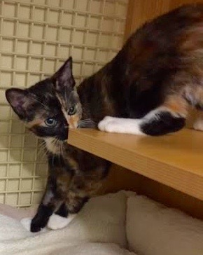 [picture of Mikenna, a Domestic Short Hair calico cat]