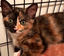 [picture of Mikenna, a Domestic Short Hair calico\ cat]