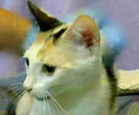 [picture of Cathie, a Domestic Short Hair calico\ cat]