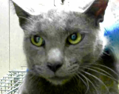 [picture of Bosley, a Russian Blue Mix blue\ cat]