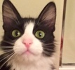A picture of #ET02026: Dolores a Domestic Medium Hair black/white tuxedo