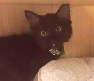 [another picture of Sabrina, a Domestic Medium Hair black\ cat]