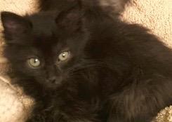 [picture of Sabrina, a Domestic Medium Hair black\ cat]