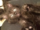 A picture of #ET02028: Shadow a Domestic Medium Hair smoke/black stripe