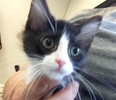 A picture of #ET02031: Smokey Joe a Domestic Medium Hair blue/white