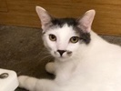 A picture of #ET02032: Liam a Turkish Van Mix white/black