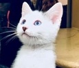 A picture of #ET02033: Aideen a Turkish Van Mix white/black blue eyes