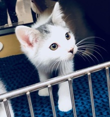 [another picture of Daley, a Turkish Van Mix white/blck\ cat]