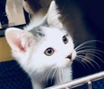 [picture of Daley, a Turkish Van Mix white/blck cat]