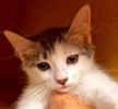 A picture of #ET02035: Loman a Turkish Van Mix white/black