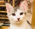 A picture of #ET02036: Neala a Turkish Van Mix white/black