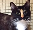 A picture of #ET02038: Tessi a Domestic Medium Hair calico