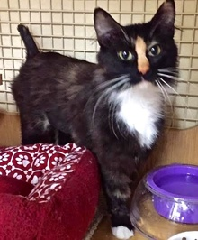 [another picture of Tessi, a Domestic Medium Hair calico\ cat]