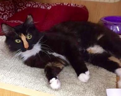 [picture of Tessi, a Domestic Medium Hair calico cat]